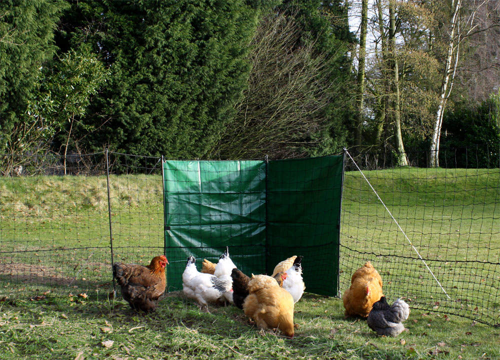 Give hens a sheltered spot to roam in