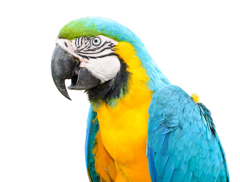 Blue And Yellow Parrots