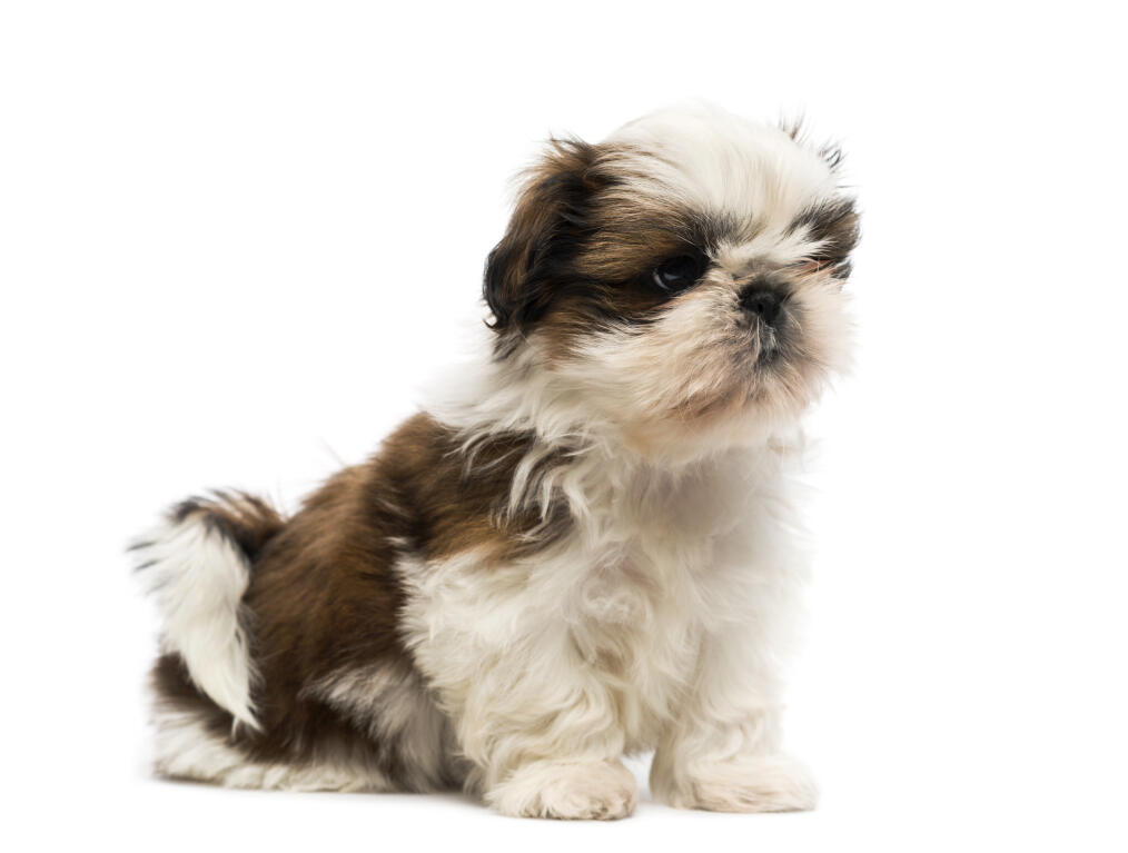 what does a shih tzu dog look like shih tzu dogs breed information omlet 2604