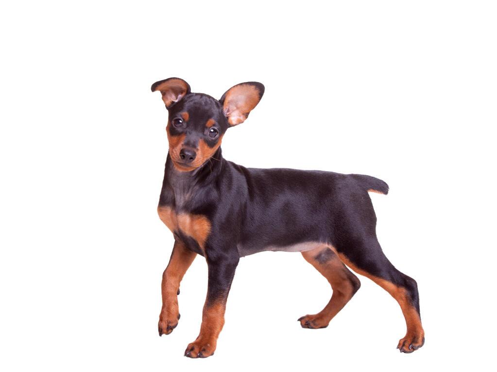 Miniature pinscher dogs breed information omlet for Pinscher temperamento