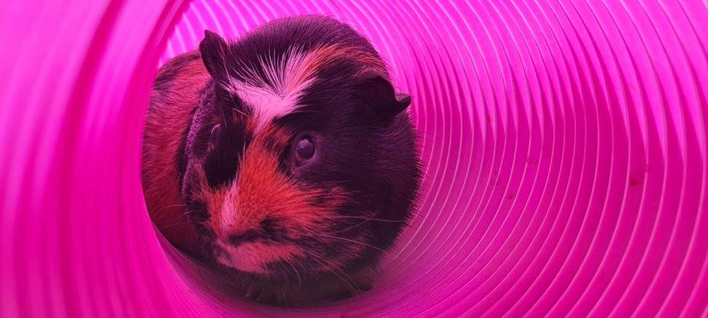 Investigation Under Way After 10 Guinea Pigs Found ...