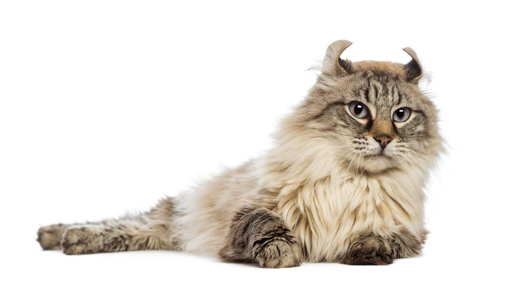 american curl budapest macskakiállítás
