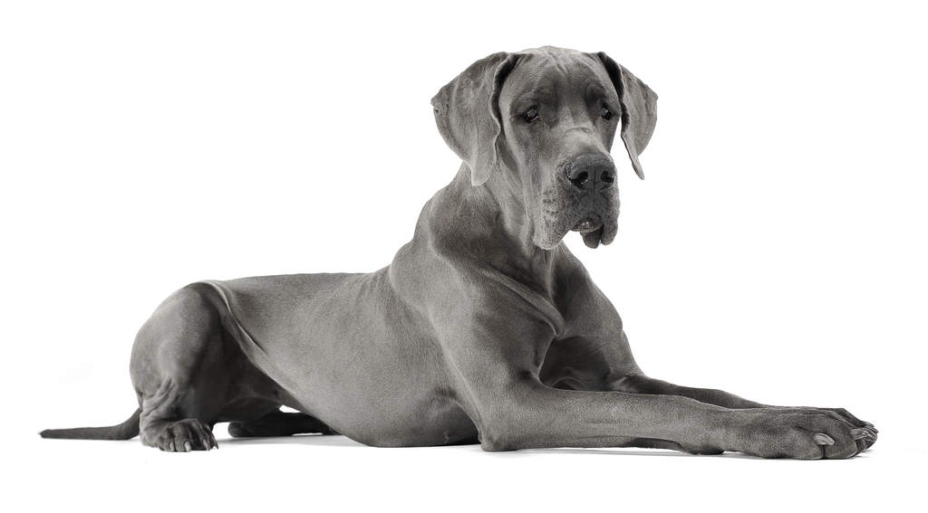 Great Dane   Dogs   Breed Information   Omlet