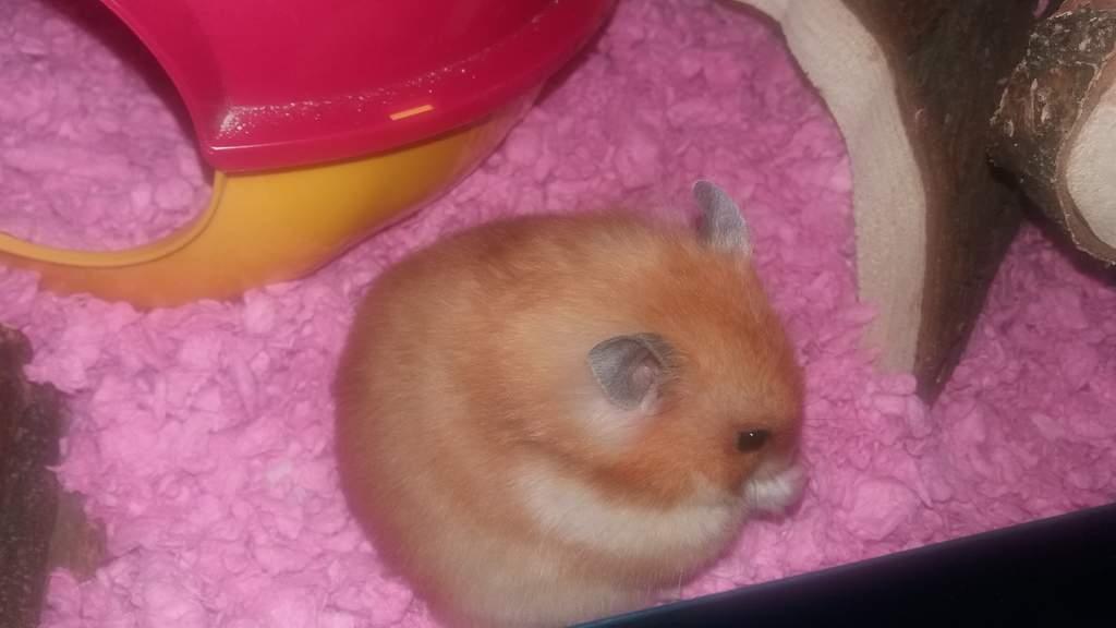 Carefresh Animal Bedding 10l Pink Hamster Gerbil Bedding