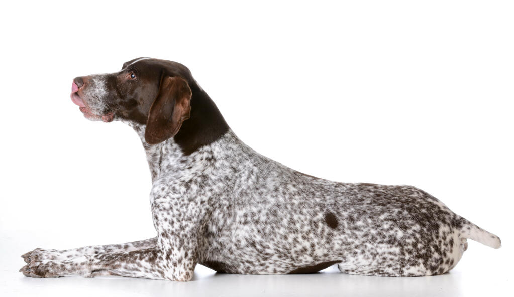 Dog-German_short_haired_pointer-A_German_short_haired_pointer_with_a ...