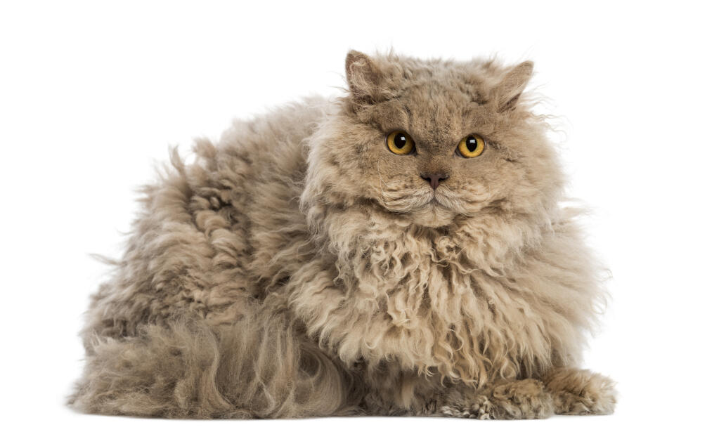 Selkirk Rex Cats Breed Information Omlet