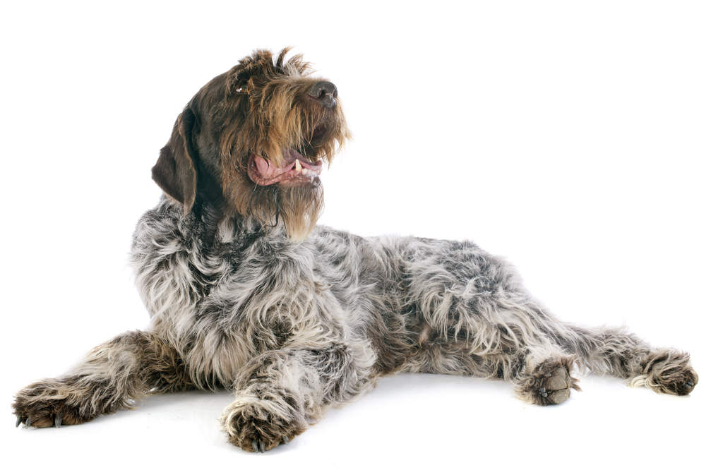 Korthals Griffon | Dogs | Breed Information | Omlet