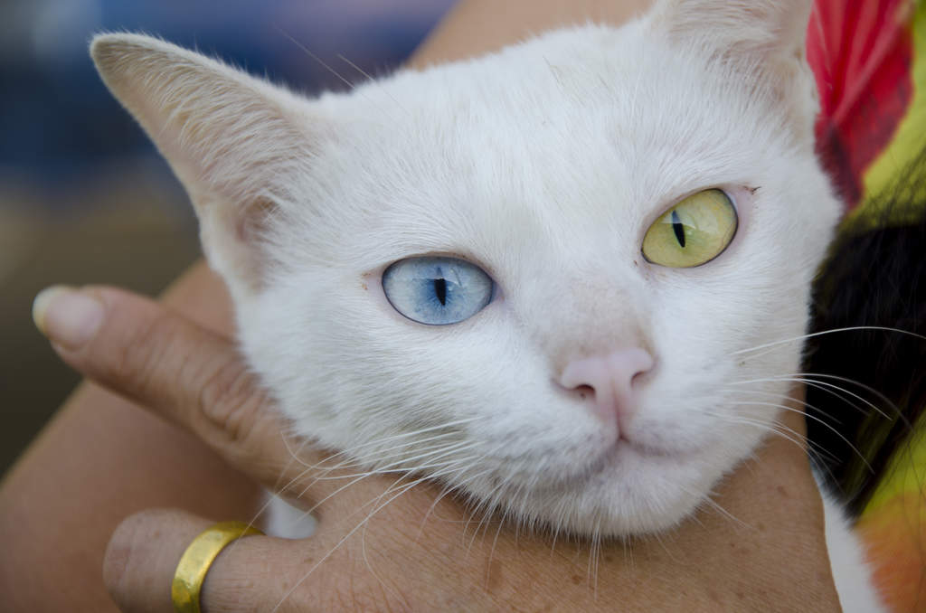 Why Is The Van Cat So White And Blue Eyed