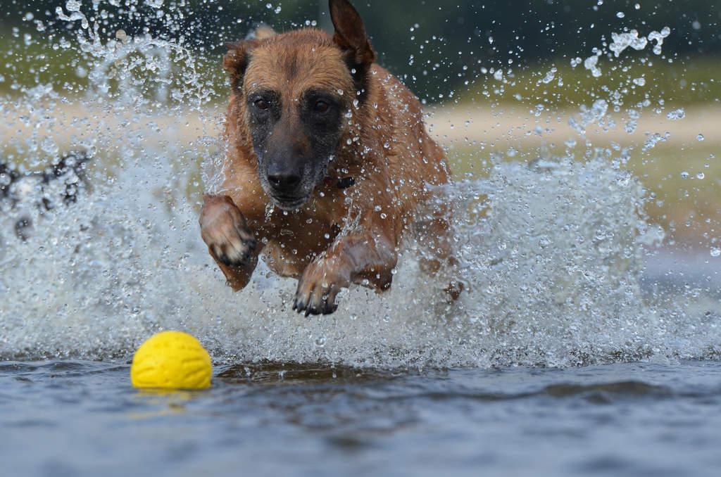 Belgian Shepherd Dog Malinois Dogs Breed Information