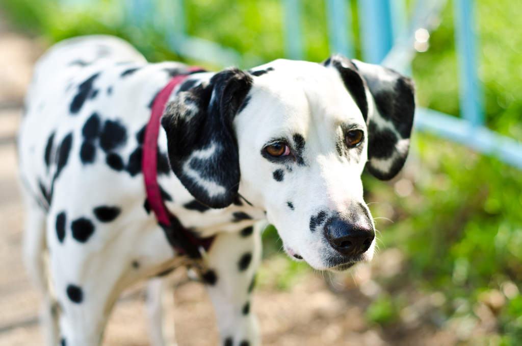 Dalmatian Dogs Breed Information Omlet