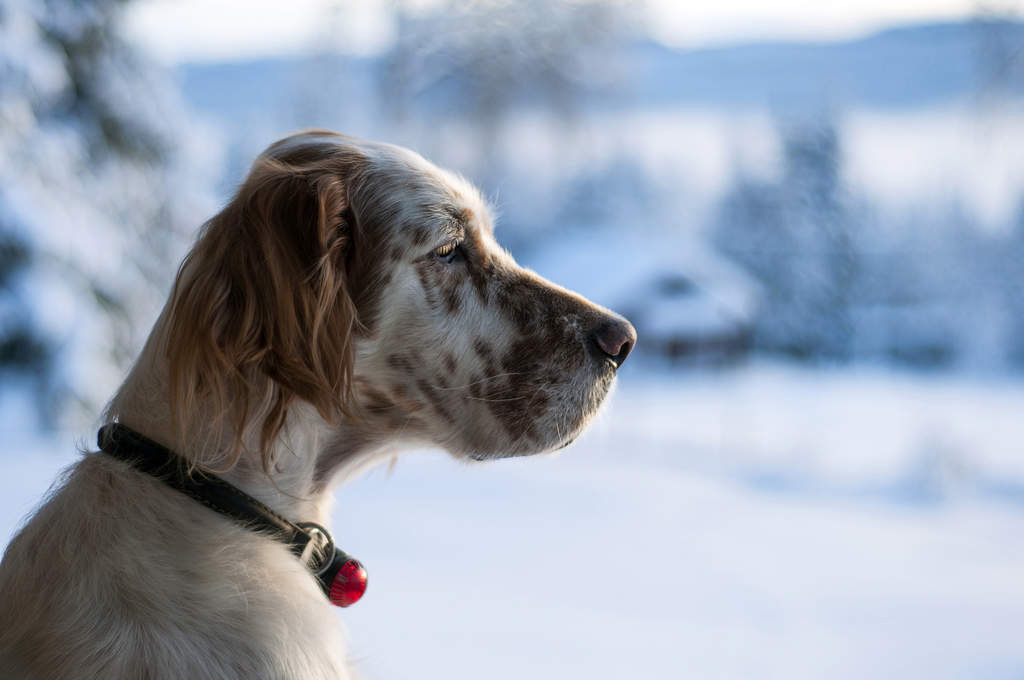 English Setter | Dogs | Breed Information | Omlet