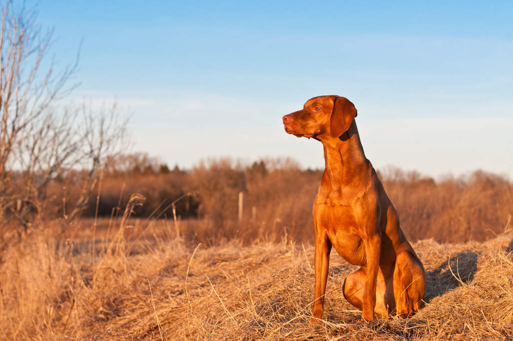 Dog-Vizsla-A_beautiful,_red_Vizsla_sitting_very_tall,_waiting_for_a_command.jpg