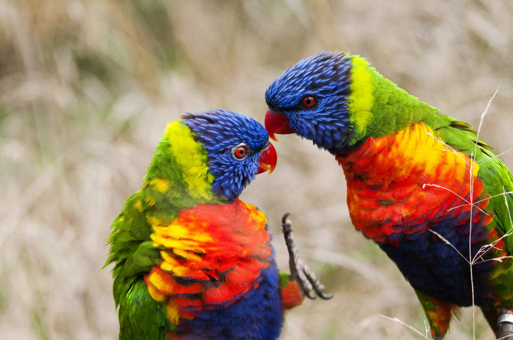 Rainbow Lorikeet For S...