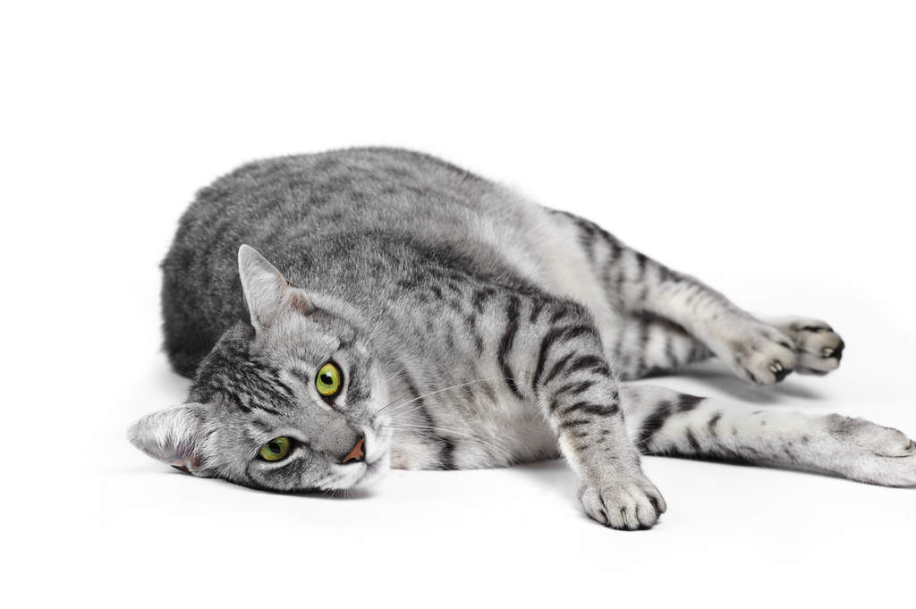 Egyptian Mau Cats Breed Information Omlet