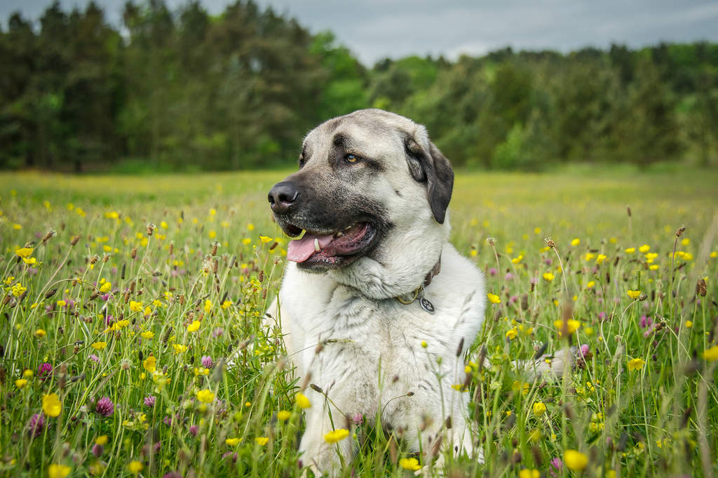 Anatolian Shepherd Dog Dogs Breed Information Omlet