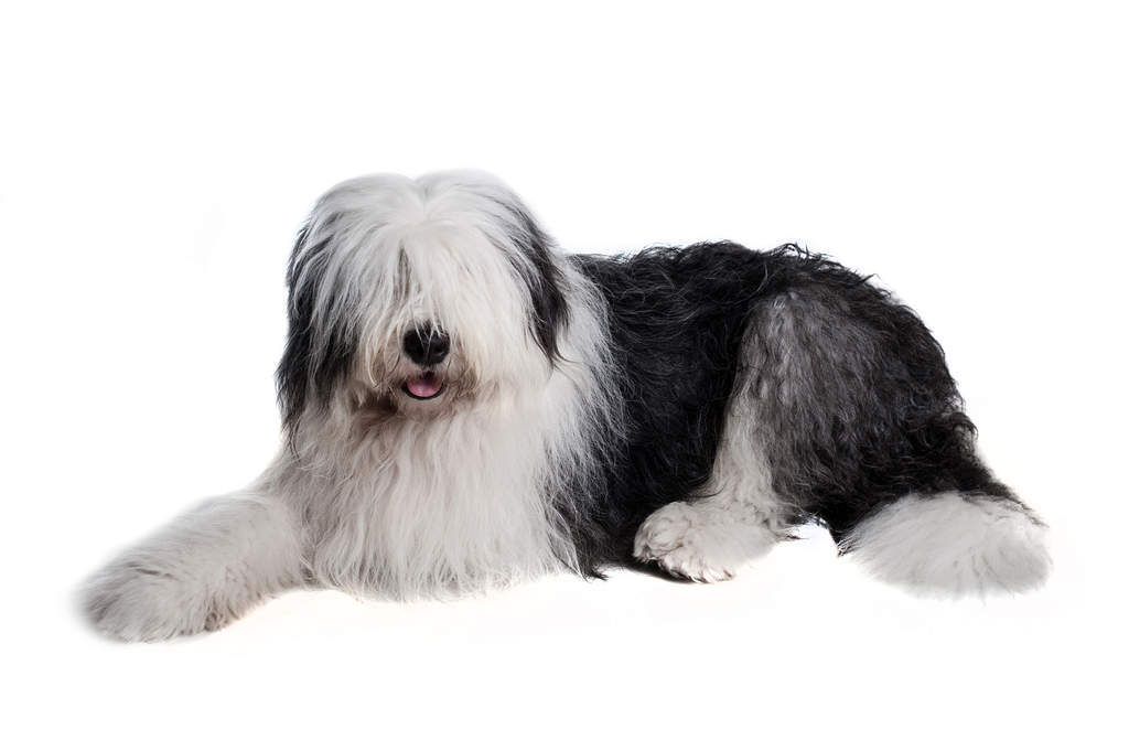 Image result for old english sheepdog