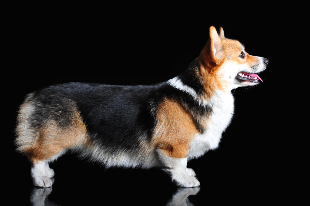 8 Reasons Why Corgis Are The Best
