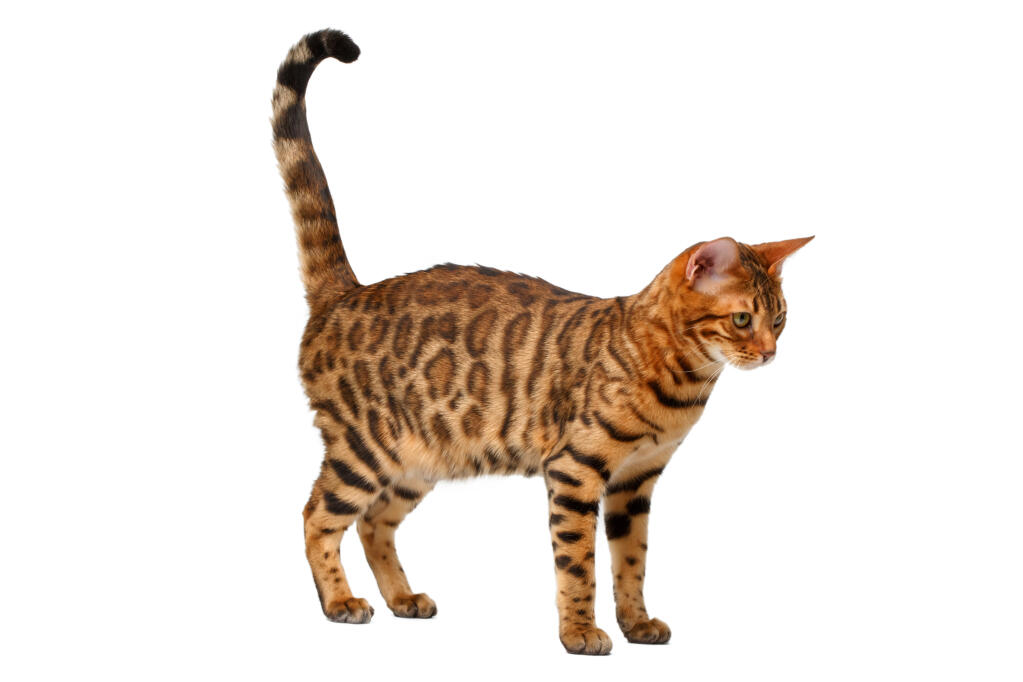 Bengal   Cats   Breed Information   Omlet