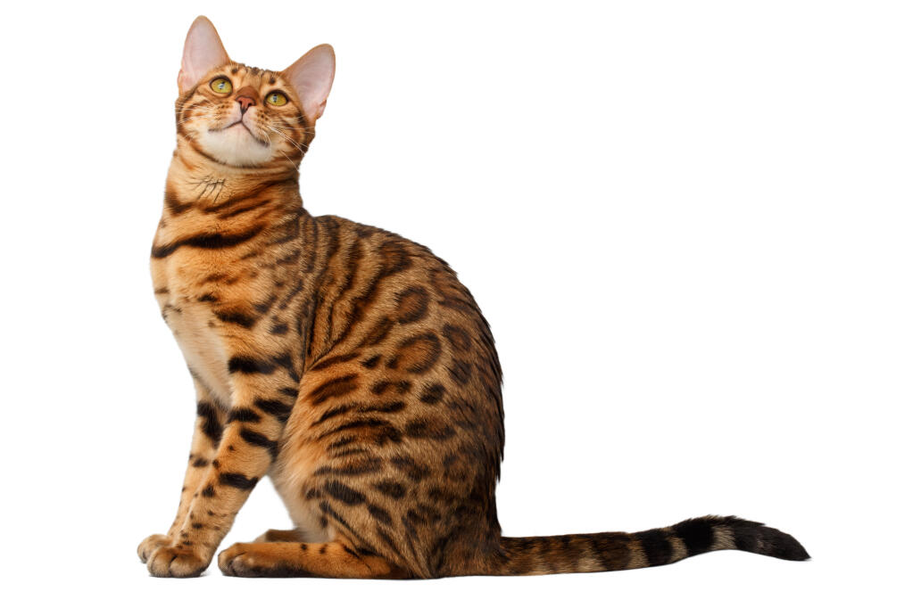Bengal | Cats | Breed Information | Omlet