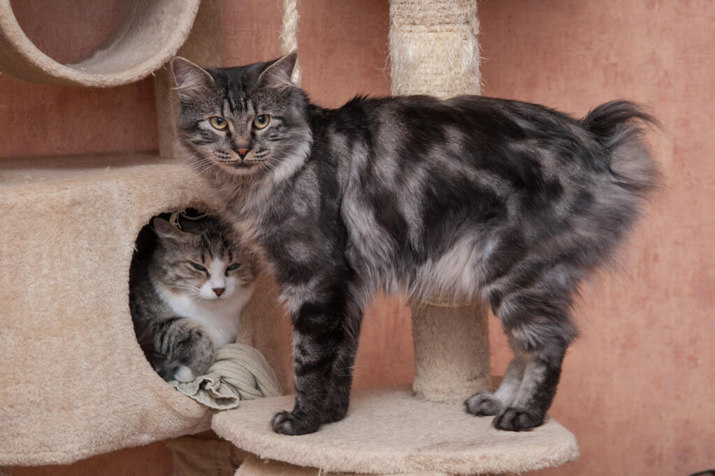 Kurilian Bobtail Cats Breed Information Omlet