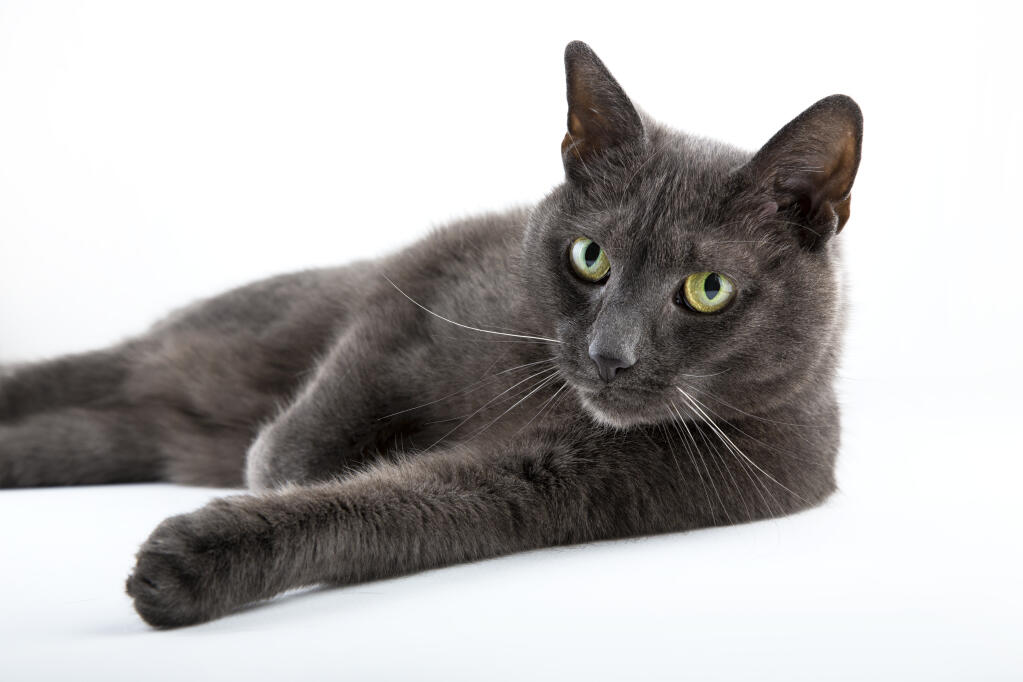 Russian Blue | Cats | Breed Information | Omlet