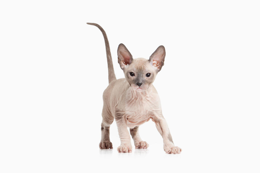 Sphynx | Cats | Breed Information | Omlet