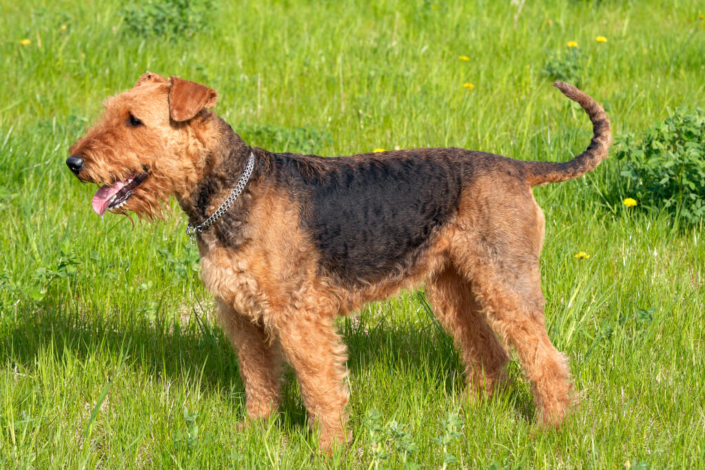 Airedale Terrier Dogs Breed Information Omlet