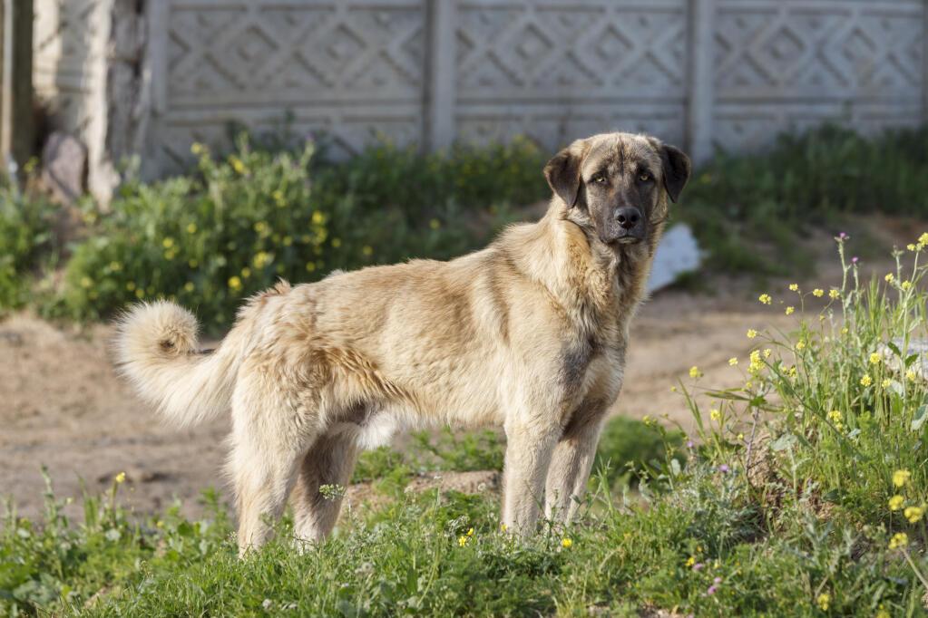 Anatolian Shepherd Dog...