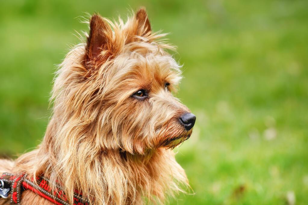Australian Terrier   Dogs   Breed Information   Omlet
