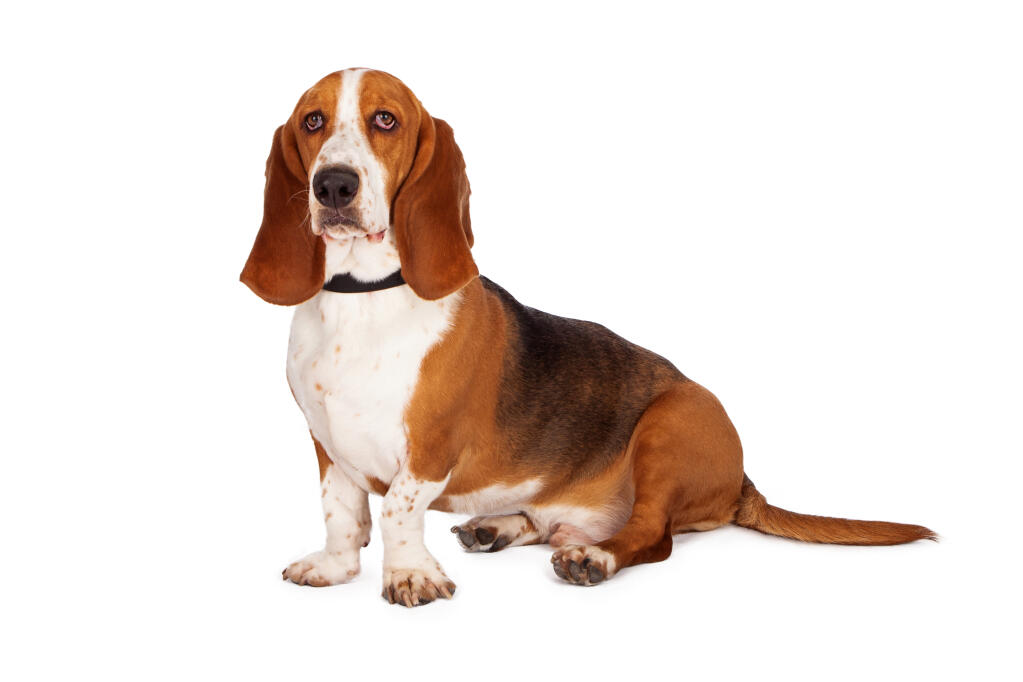 Basset Hound Good Hunting Dog