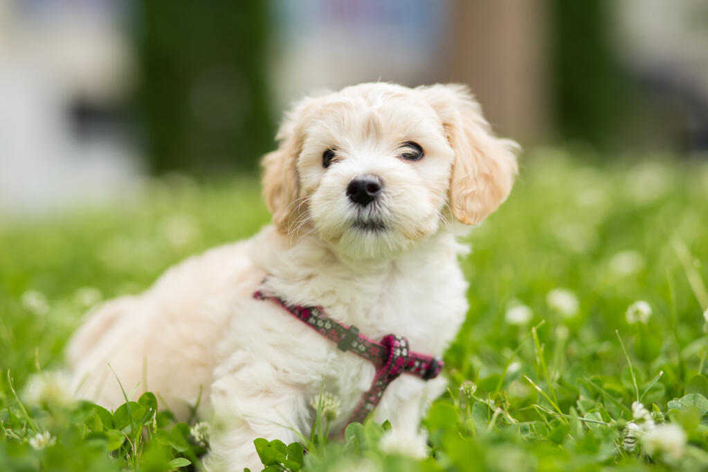 Bichon Frise | Dogs | Breed Information | Omlet