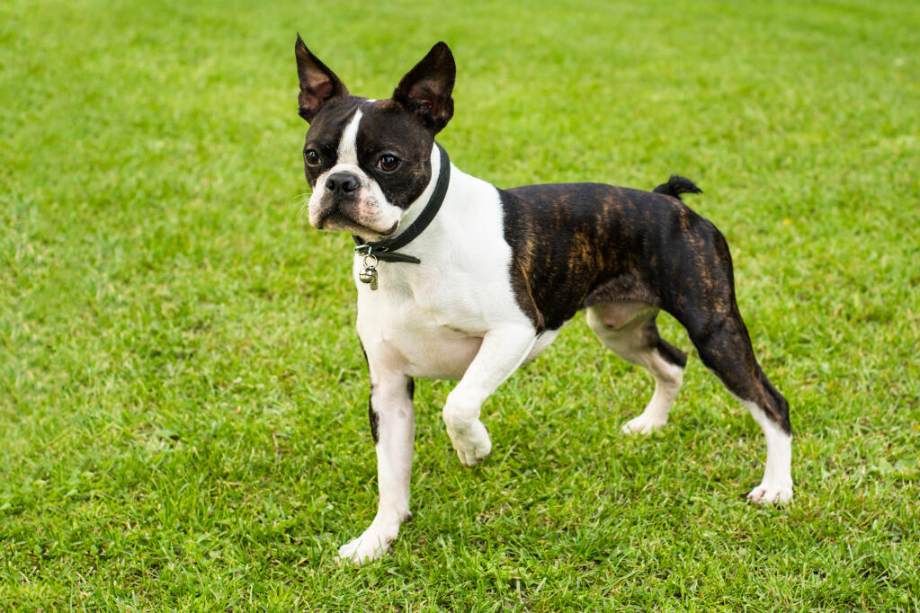 Best Dog Food For Bostonterrier