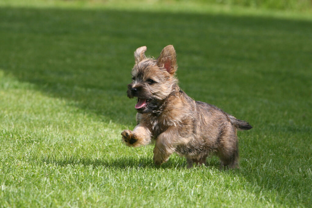 Cairn Terrier | Dogs | Breed Information | Omlet