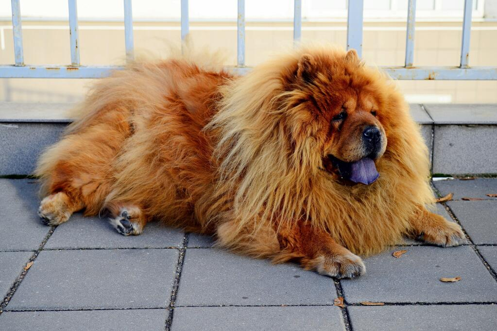 Chow Chow Dogs Breed Information Omlet