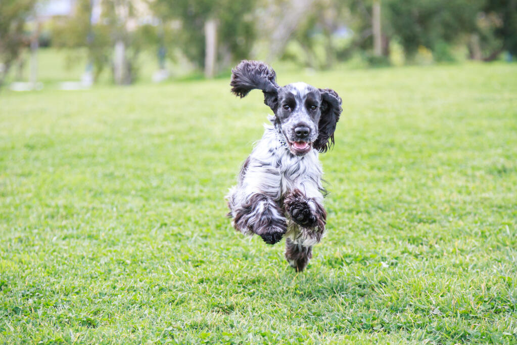 Cocker Spaniel English Dogs Breed Information Omlet