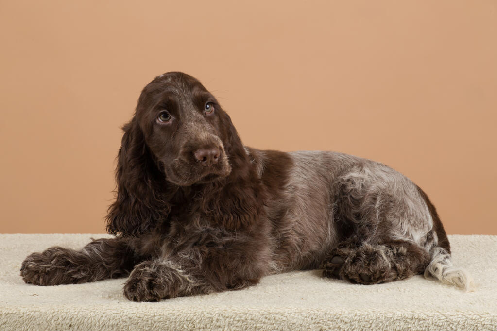 Cocker Spaniel English Dogs Breed Information Omlet