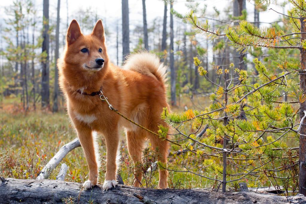 Finnish Spitz Dogs Breed Information Omlet