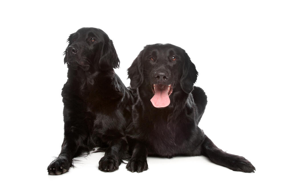 Flat Coated Retriever Dogs Breed Information Omlet