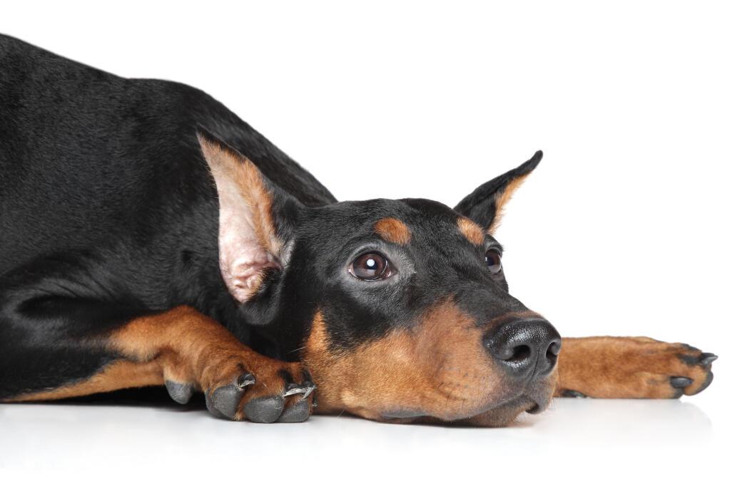 German Pinscher | Dogs...