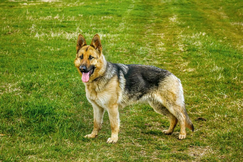 Dog-German_Shepherd_Dog-A_healthy_adult_German_Shepherd_standing_tall ... German Shepherd Dog Reviews