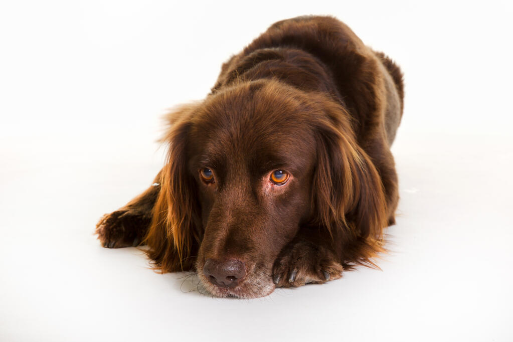 German Longhaired Pointer Dogs Breed Information Omlet