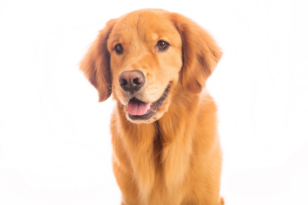 Golden Retriever Dogs Breed Information Omlet