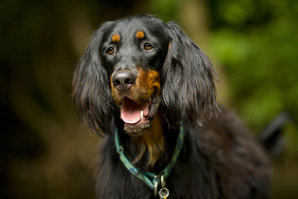 Gordon Setter Dogs Breed Information Omlet