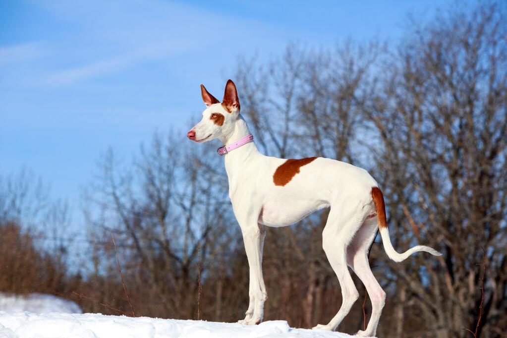 Dog-Ibizan_Hound-A_beautiful_Ibizan_Hound_out_in_the_snow.jpg Ibizan Hound Uk Breeders
