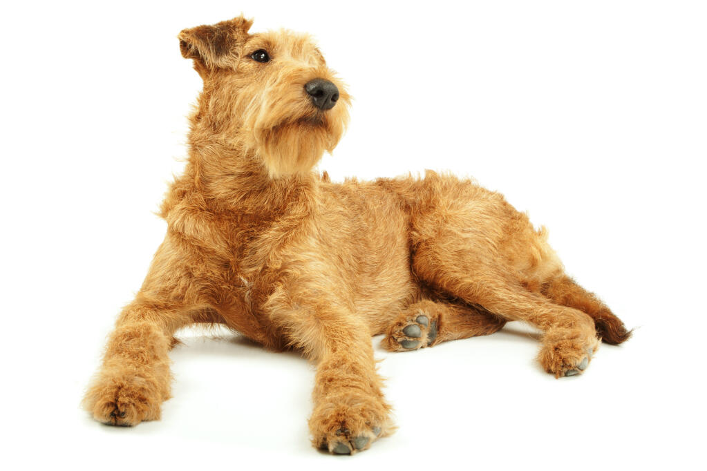 Irish Terrier | Dogs | Breed Information | Omlet Weimaraner For Sale