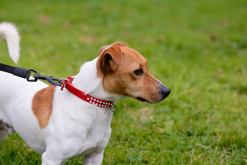 Understanding and Training Your Jack Russell Terrier
