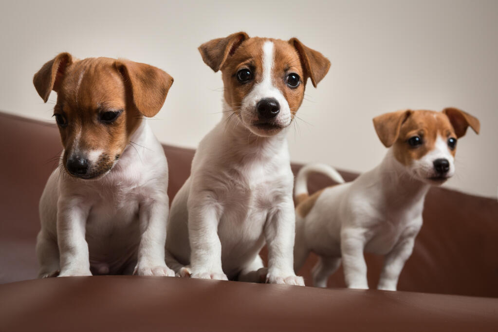 Jack Russell Dogs - Are They All the Same