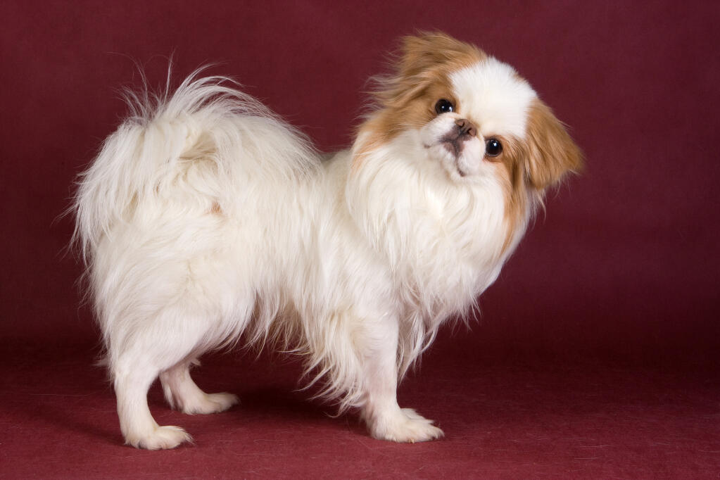 Japanese Chin Dogs Breed Information Omlet