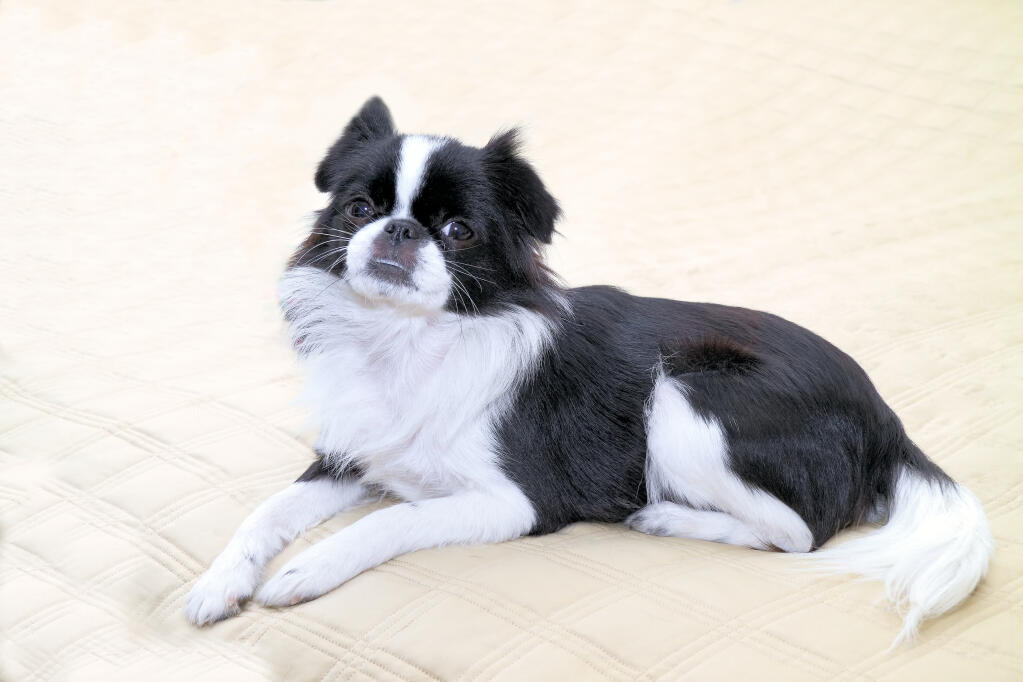 Japanese Chin   Dogs   Breed Information   Omlet Japanese Chin Standard