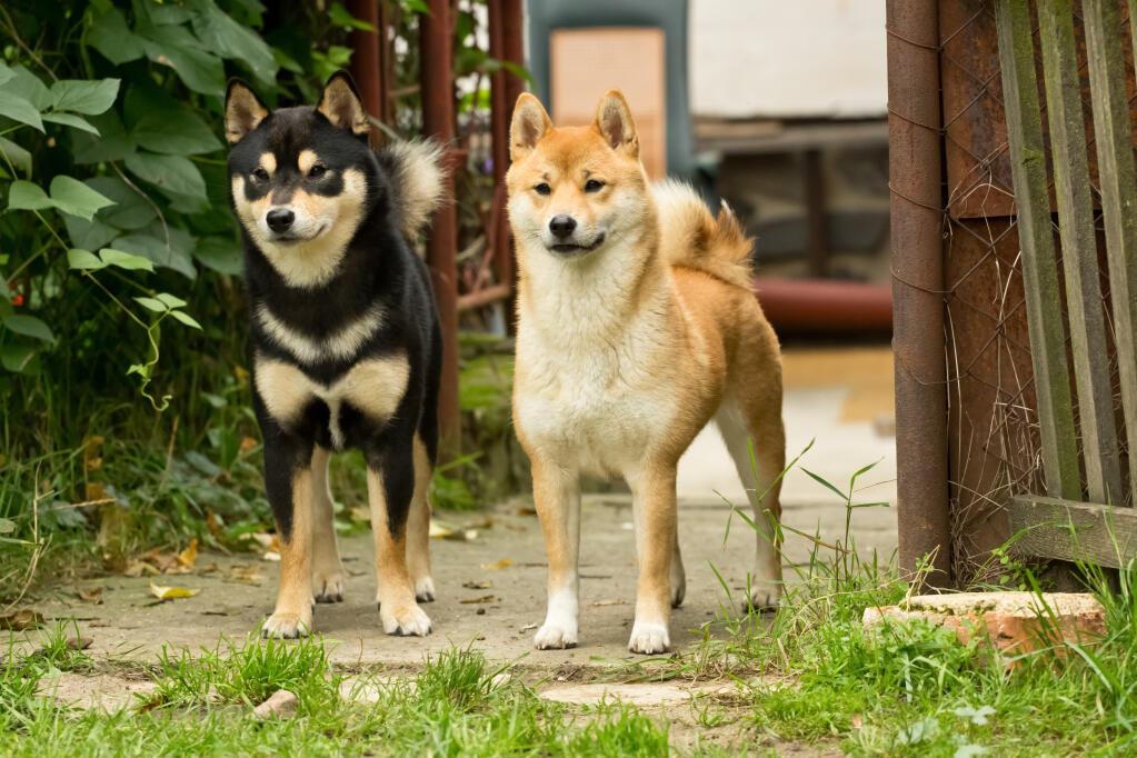 Japanese shiba inu dogs breed information omlet for Best dog breed for you